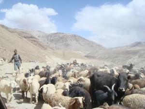 Sheep-crossing