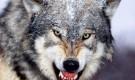 Тотем волка или волчья история.